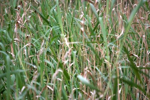 Kinda looks like wheat, a bit by rubenerd, on Flickr