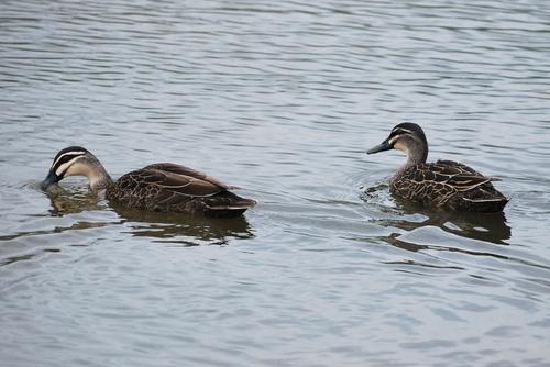 Duck duck duck duck