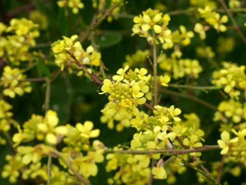 Wildflowers alongside the Mawson Lakes river