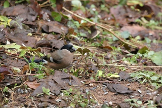 Photo of a Lady Bullfinch by Giliell