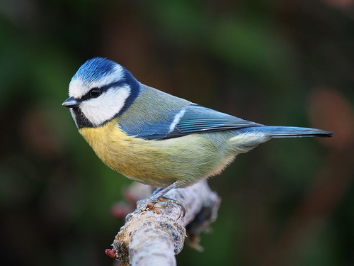Photo of the Eurasian Blue Tit, by Francis Franklin