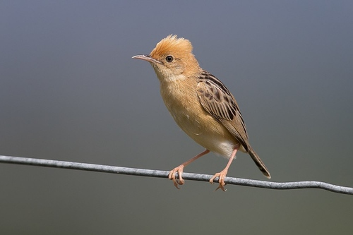 A photo of the golden-headed cisticola by JJ Harrison.