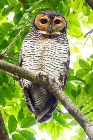 Photo of a rather fetching Spotted Wood Owl in Pasir Ris Park in Singapore, by JJ Harrison.