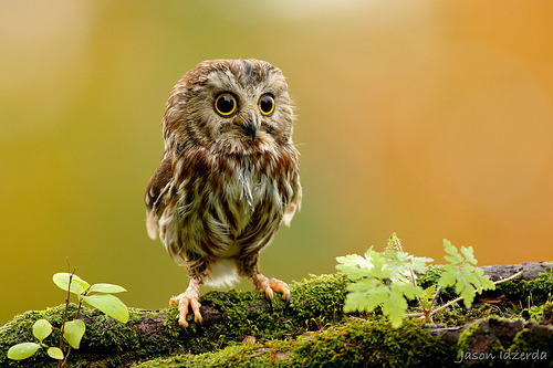 Photo of a small owl, who may or may not be asking who is looking at him