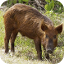 Wild Pig image by NASA. Yes!