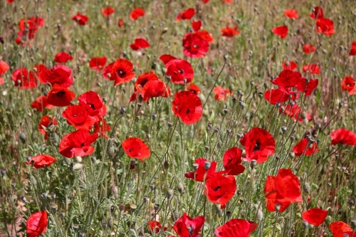 Poppies photo by Russel Imer